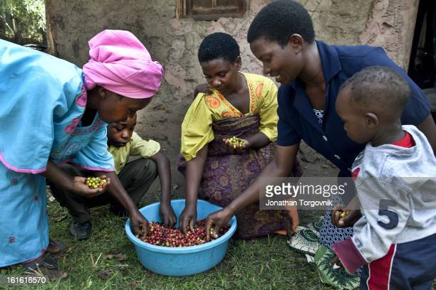 Coffee farmers sort coffee cherries that will then be put in a hand cranked coffee cherry pulper machine on March 7 2012 in Kasese Uganda Andrew...