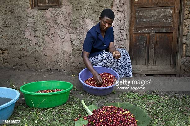 Coffee farmers sort coffee cherries, that will then be put in a hand cranked coffee cherry pulper machine on March 7, 2012 in Kasese, Uganda. Andrew...