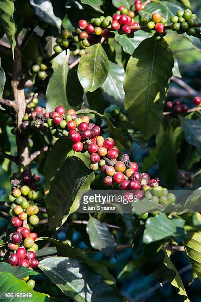 Coffee farming. Northern Thailand.