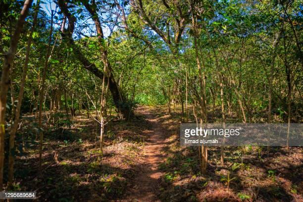 coffee forest along ura kidane mihret, bahir dar, ethiopia - エチオピア ストックフォトと画像