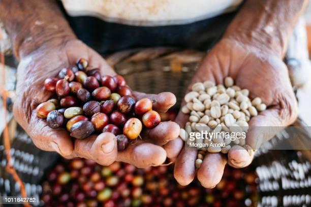 coffee in a farmer's hands - café colheita imagens e fotografias de stock