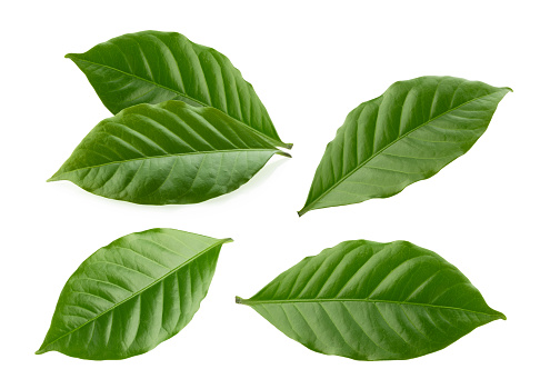 coffee leaves isolated white background 1168579939