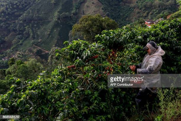 A coffee picker collects coffee beans at a plantation in the mountainous area near Ciudad Bolivar Antioquia department Colombia on October 19 2017...