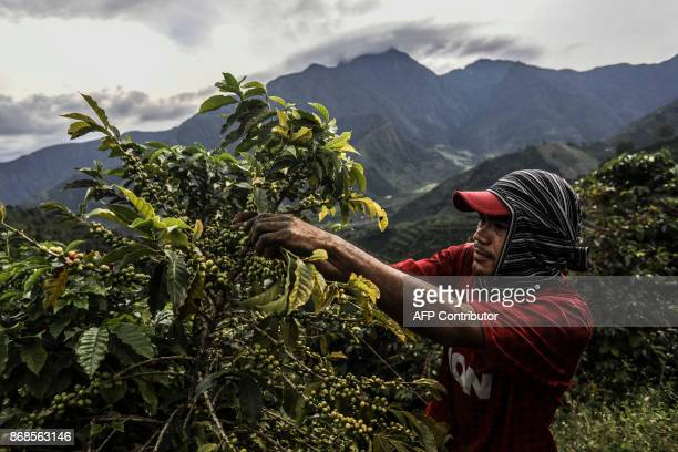 TOPSHOT A coffee picker collects coffee in the mountains near Ciudad Bolivar Antioquia department Colombia on October 18 2017 October is the peak of...