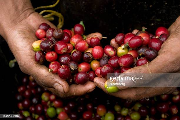 A coffee picker displays ripe bright red arabica beans used in specialty coffees in the Andes mountains in the Antioquia province near Ciudad Bolivar...