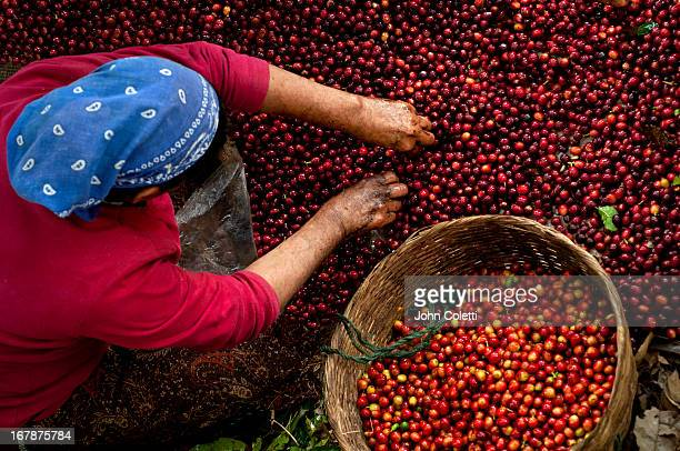Coffee Picker, El Salvador