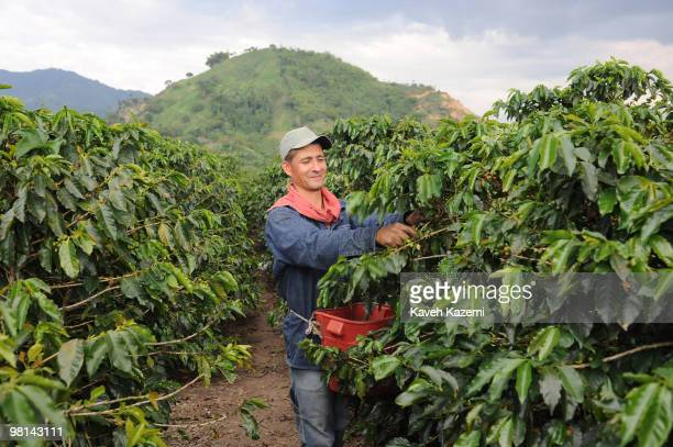 A coffee picker hand picks the beans in a farm in Combia Risaralda Risaralda is a department of Colombia It is located in the western central region...