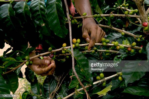 A coffee picker works in the Andes mountains in the Antioquia province near Ciudad Bolivar Colombia on Thursday Jan 20 2011 Antioquia Colombia's...