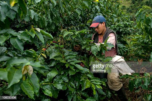 A coffee picker works on a plantation in the Andes mountains in the Antioquia province near Ciudad Bolivar Colombia on Thursday Jan 20 2011 Antioquia...
