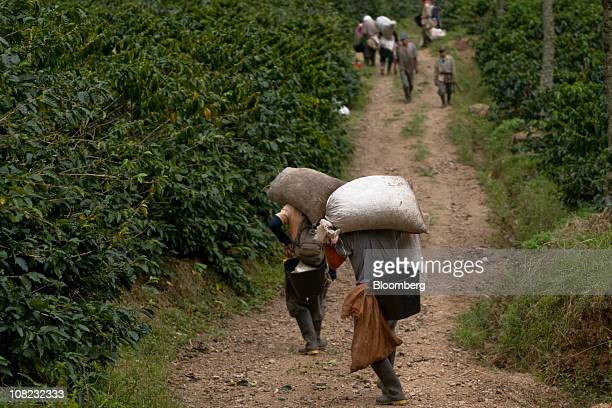 Coffee pickers carry sacks of arabica beans in the Andes mountains in the Antioquia province near Ciudad Bolivar Colombia on Thursday Jan 20 2011...