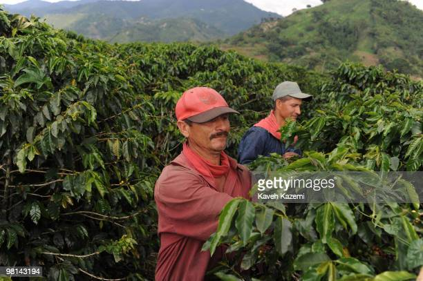 Coffee pickers hand pick the beans in a farm in Combia Risaralda Risaralda is a department of Colombia It is located in the western central region of...