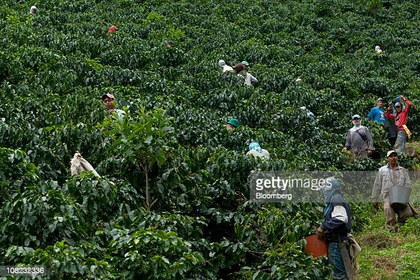 Coffee pickers pick coffee cherries in the Andes mountains in the Antioquia province near Ciudad Bolivar Colombia on Thursday Jan 20 2011 Antioquia...