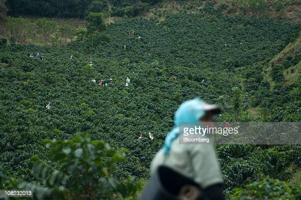 Coffee pickers scour a hillside for the ripe bright red arabica beans used in specialty coffees on a plantation in the Andes mountains in the...