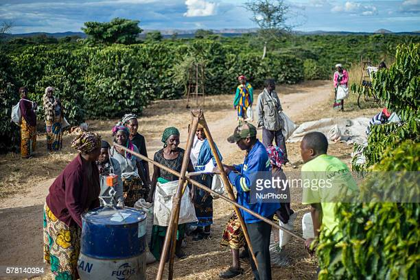 Coffee pickers weighs bags with their daily harvest of coffee cherries at Mubuyu Farm Zambia More than 80 pickers are seasonal workers They come from...