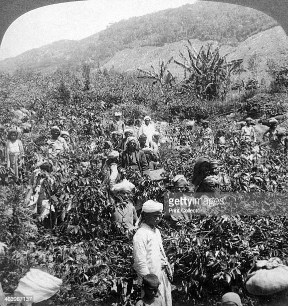 Coffee picking on Sir Thomas Lipton's estate Dambutenne Sri Lanka 1903 Stereoscopic slide detail