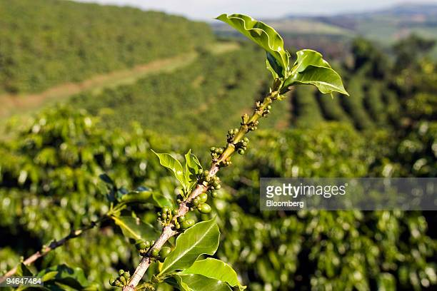 A coffee plant bearing less buds than usual hangs over Arabica Coffee fields on the Monte Alegre Farm in Monte Belo Brazil Tuesday November 21 2006...