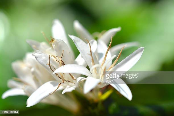 Coffee Plant Flower
