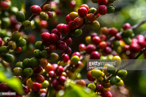 A coffee plant grows at a plantation in the mountainous area near Ciudad Bolivar Antioquia department Colombia on October 18 2017 October is the peak...