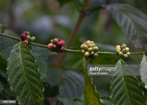 A coffee plant grows on a plantation waiting to be picked and eaten by the Luwak and Asian palm civet that produces the highly sought Luwak cofee...