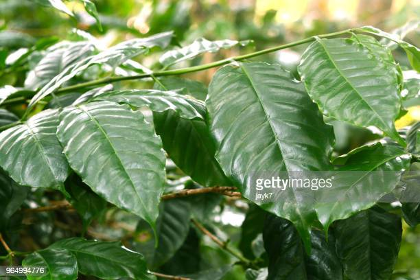 coffee plant leaves - magnoliopsida stock photos and pictures