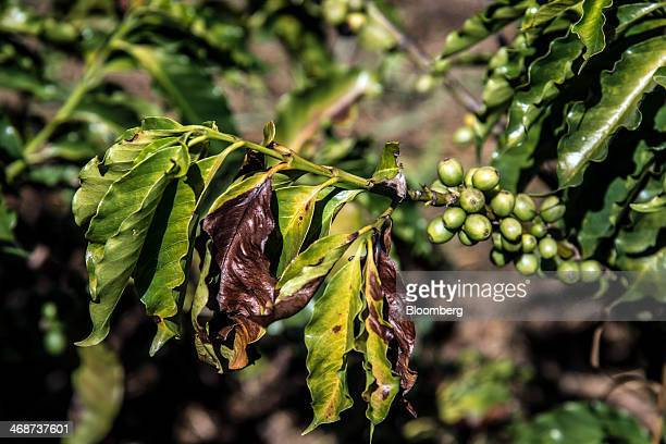 Coffee plant, with some brown leaves caused by a recent drought, stands at the Tijuco Preto estate in the state of Minas Gerais near Serra Negra,...