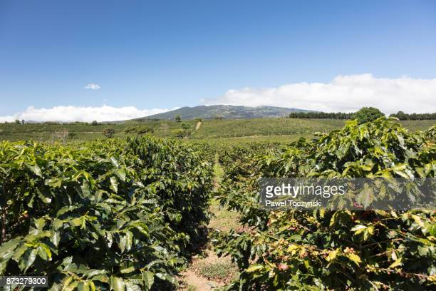 Coffee plantation at the footsteps of Volcano Poas, Costa Rica