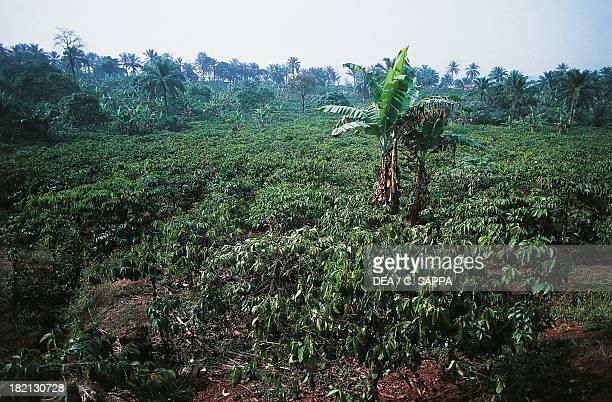Coffee plantation Cameroon