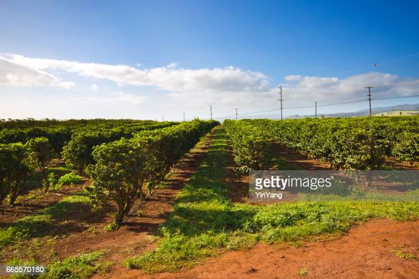 Coffee Plantation Farm Field in Kona Hawaii USA