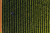 aerial view coffee plantation during harvest