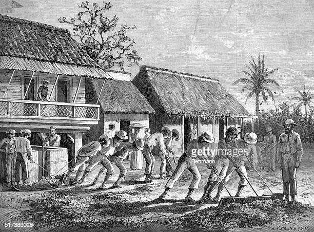 Coffee plantation in Costa Rica Central America Spreading the husked coffee beans to be dried by the sun Woodcut 1880