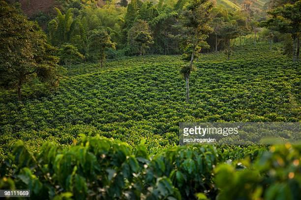Coffee Plantation in Evening Light