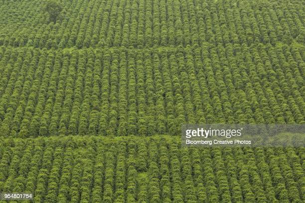 A coffee plantation is seen in this aerial photograph