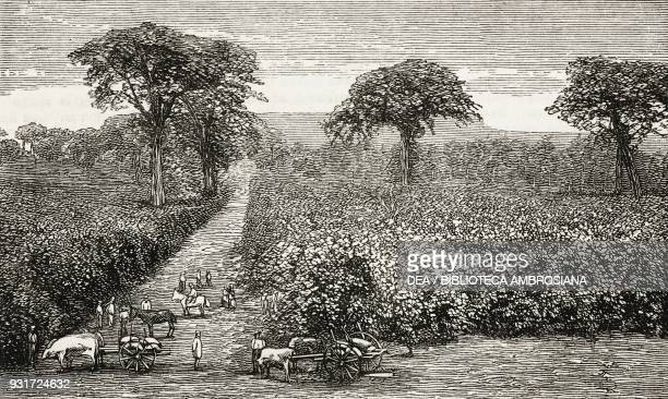 A coffee plantation Las Nubes coffee cultivation in Guatemala illustration from the magazine The Graphic volume XVI no 412 October 20 1877