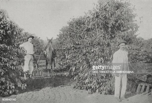 Coffee plantation of two Italian colonists in Brazil from L'Illustrazione Italiana Year XVLII No 23 June 6 1920