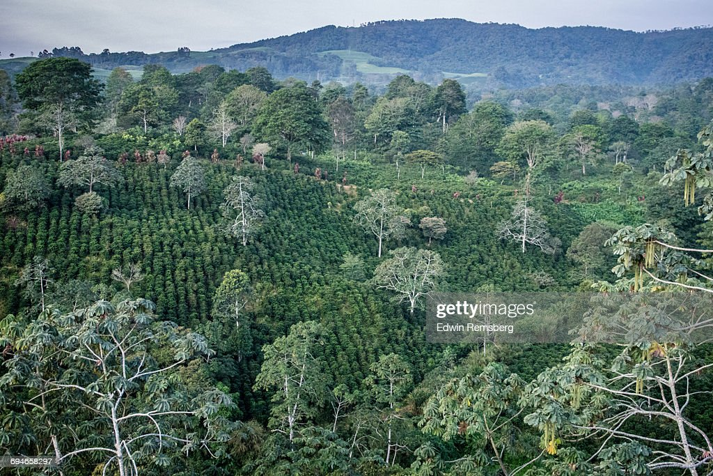 Coffee Plantation : Stock Photo