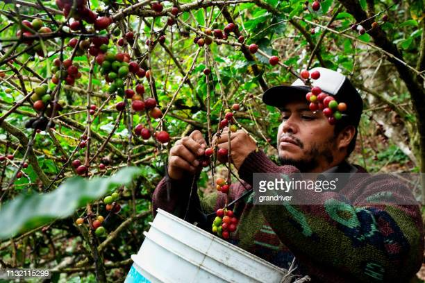 a coffee plantation worker harvesting ripe cherries from a coffee tree - fruit farm stock photos and pictures