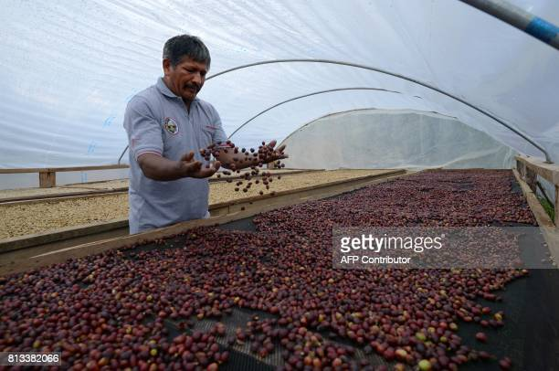 Coffee planter Javier Sedano inspects coffee grains drying at their plantation near the town of Satipo in the VRAEM region on June 28 2017 The...