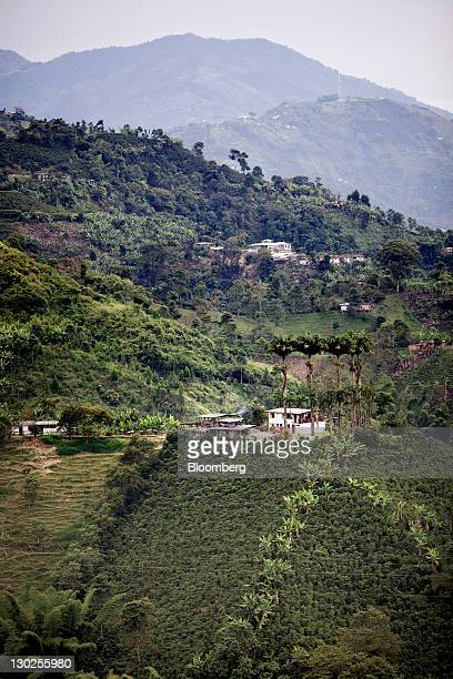 Coffee plants grow along a mountainside at a coffee plantation in the Andes Mountains in Manizales Colombia on Friday Oct 21 2011 Colombia the...