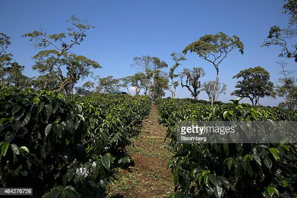 Coffee plants grow at the Finca Mirador coffee plantation in Huatusco Mexico on Saturday Feb 21 2015 Mexican coffee producers are looking for a...
