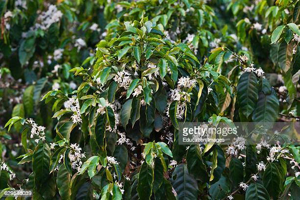 Coffee Plants In Bloom On The Bolaven Plateau Near Pakse Southern Laos