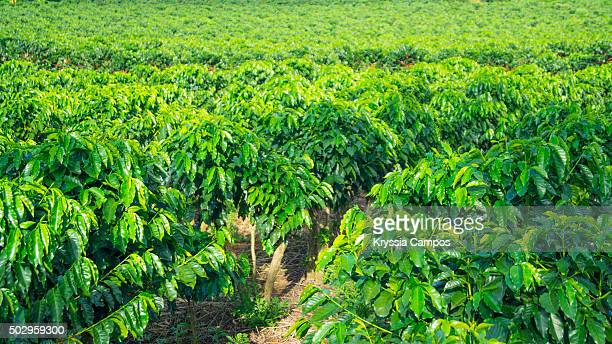 Coffee plants on a plantation