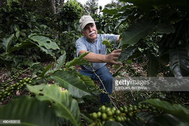 Coffee producer Adrian Hernandez inspects plants at his farm Altamira in Barva Heredia Heredia 17 km north of San Jose on August 25 2015 Hernandez...