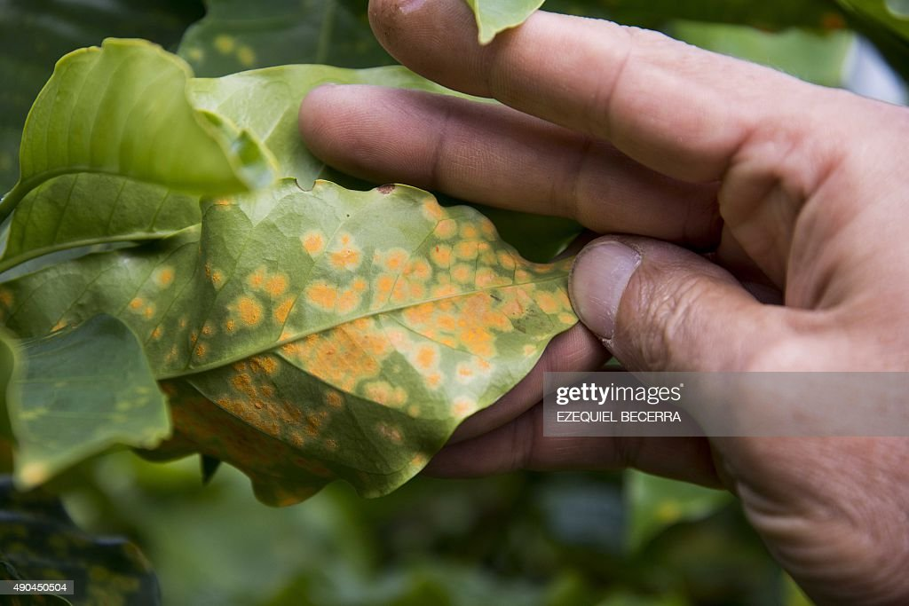 COSTA RICA-CLIMATE-CHANGE-COFFEE : News Photo