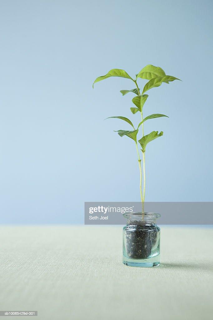 Coffee seedling in jar, studio shot : Foto stock