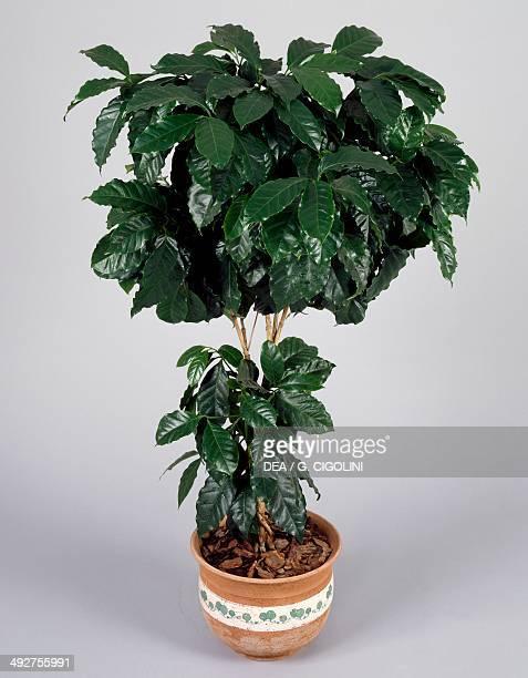 Coffee shrub of Arabia Rubiaceae