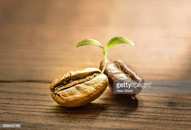 Coffee sprouting