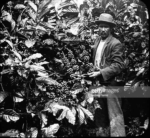 Coffee tree showing berries Jamaica