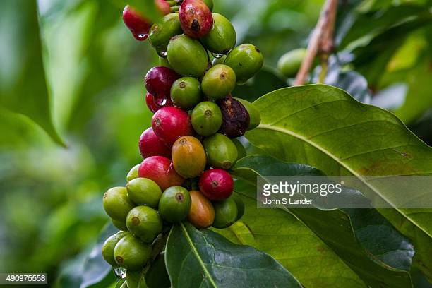 Coffee trees are perennial dicotyledon that belongs to the Rubiaceae family The beans that grow from these plants are commonly called coffee cherries...