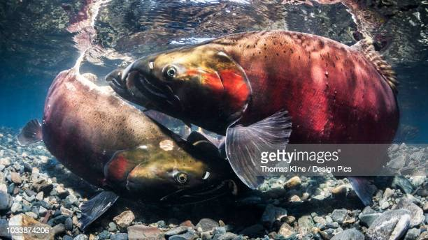 Coho Salmon, also known as Silver Salmon (Oncorhynchus kisutch) false spawning melee in an Alaskan stream during autumn