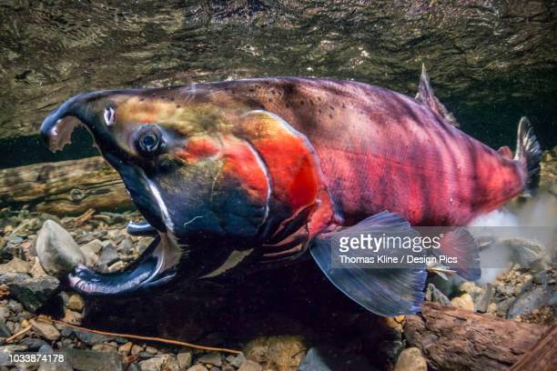 Coho Salmon, also known as Silver Salmon (Oncorhynchus kisutch) in the act of spawning in an Alaska stream during the autumn